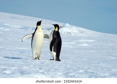 An Emperor Penguin pair in courtship displays and behaviors.  One penguin seems to be declaring affection for the other.