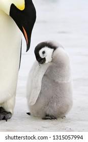 Emperor Penguin in Snow Hill Island