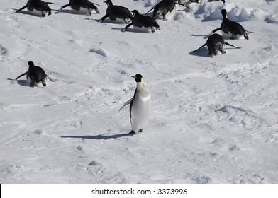 An emperor penguin standing out from the crowd in the background. Picture was taken in the Atka Bay during a 3-month Antarctic research expedition.