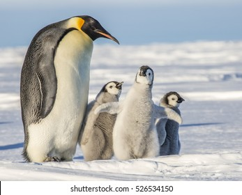 Emperor Penguin with three chicks