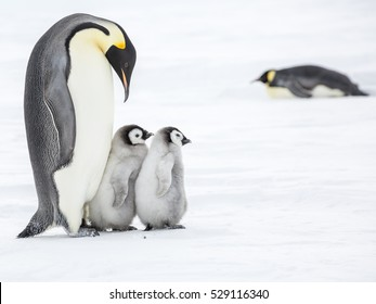 Emperor Penguin with two chicks