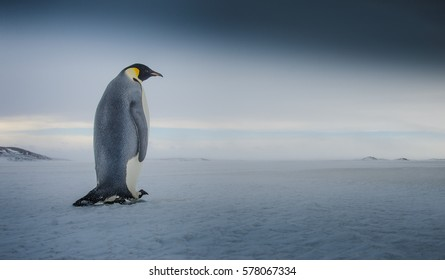 Emperor Penguin Walking in Antarctica