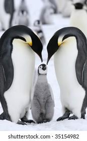 Emperor penguins (Aptenodytes forsteri) on the ice in the Weddell Sea, Antarctica