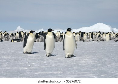 Emperor penguins (Aptenodytes forsteri) walking on the ice in the Weddell Sea, Antarctica