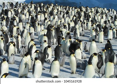 Emperor penguins (aptenodytes forsteri)with Chicks in the colony on the ice of the Davis sea, East Antarctica