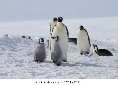 Emperor Penguins with chicks at Snow Hill, Weddell  Sea, Antarctica