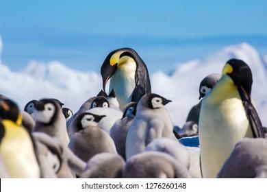 Emperor Penguins and chicks at Snow Hill emperor penguin colony, Weddell Sea, Antarctica
