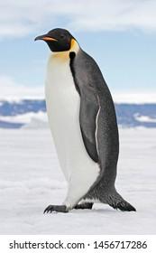 Emperor Penguins in frozen environment of Antarctica.