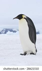 Emperor penguins on the sea ice in the Weddell Sea, Antarctica