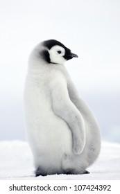 Emperor penguins, young birds, the Antarctic.