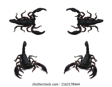 Emperor Scorpion, Scorpion collection in on white background