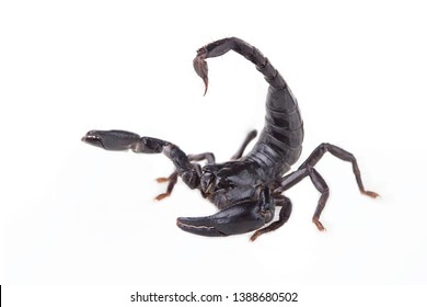 Emperor Scorpion, Pandinus imperator, of white background.  Images of high-resolution scorpions suitable for graphic work or tattoo shops.