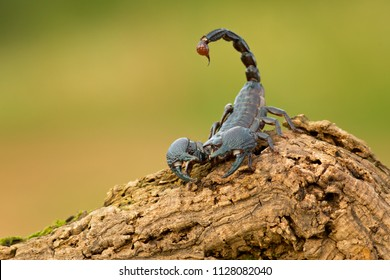 Scorpion Images Stock Photos Vectors Shutterstock