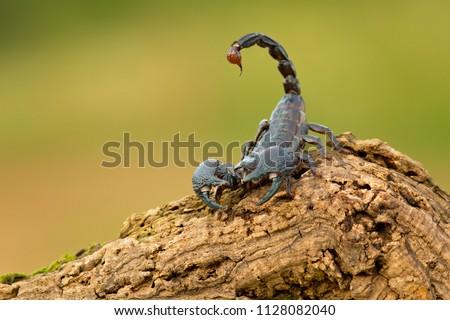Emperor scorpion is a