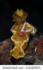 ?nudibranch with emperor shrimp