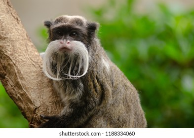 Emperor Tamarin monkey perches on a branch