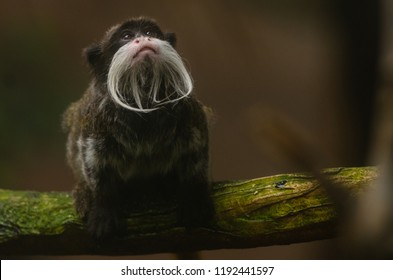 An emperor tamarin monky looks up at the tree canopy
