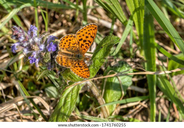 An emperor's coat butterfly sits in the meadow on the flower of an Ajuga genevensis. Its Latin name, Argynnis paphia, is inspired by Aphrodite, the goddess of love.