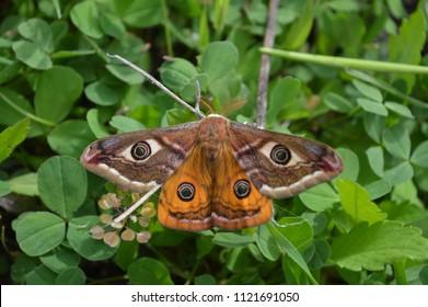 Emperor's Night Butterfly, Emperor Moth, Saturnia pavonia, Small emperor moth