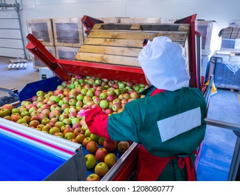 The employee sorts the fresh ripe apples on the sorting line. Production facilities of grading, packing and storage of crops of large agricultural firms.