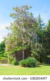 Empress tree or princess tree, or foxglove tree, latin name Paul