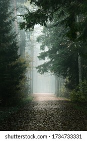 An empty alley through the tall pine and fir trees in evergreen forest in a morning fog. Natural tunnel. Tranquil landscape. Environmental conservation in Kemeri national park, Latvia