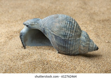 Empty blue whelk sea shell on beach sand