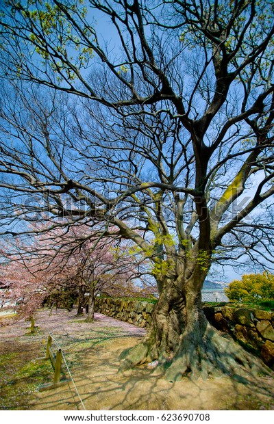 An empty branches of sakura trees (cherry blossom) with blue sky.
