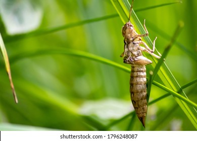 Empty dragonfly larva after metamorphose from a larva to a dragonfly leaving the transparent cocoon at the grass where the larva left the water to grow to an insect hunter at an idyllic garden pond