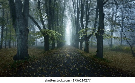 An empty gravel road through the old tall golden linden trees in a thick morning fog, Germany. Alley in a city park. Natural tunnel. Mysterious autumn landscape. Concept image
