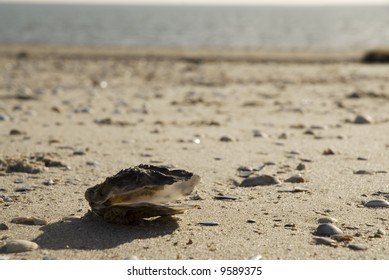 empty mussel at the beach