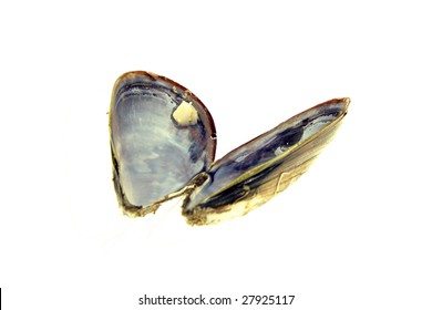 Empty mussel shell