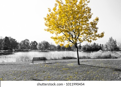 Empty park bench under golden yellow tree in black and white landscape