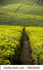 Empty path through tea plantations in Rwanda, Africa