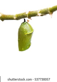 Empty pupae of the monarch butterfly on white background