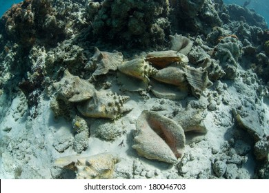 Empty Queen conch shells lie in a pile after fisherman removed the meat. Queen conch was once incredibly common throughout the Caribbean but has been overfished almost everywhere.