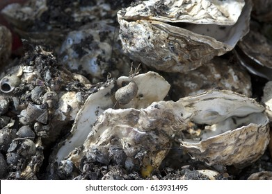 Empty shells of fresh harvested oysters, the Netherlands