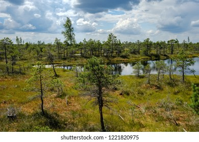 empty swamp landscape with water ponds and small pine trees in bright day with blue sky and some clouds