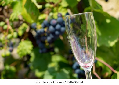 The empty wine glass on a background of blue grapes on a vineyard.