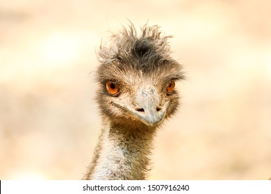 Emu Bird face  close up portrait