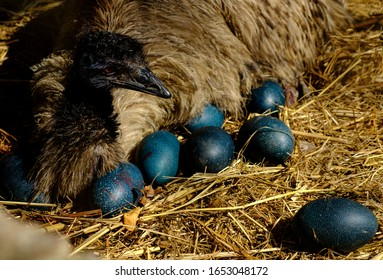 emu birds eggs beautiful blue and green colour
