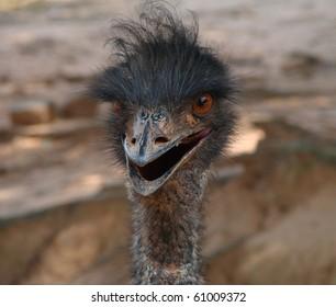 Emu closeup in Georgia wild animal park