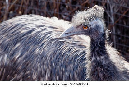 Emu. EMU lives in Australia. It is one of the few non-flying birds, the second largest after the African ostrich. The plumage colour is brownish; the top of the head and neck are black.