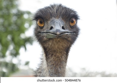 Emu living in captivity in Brazil. Australian bird.