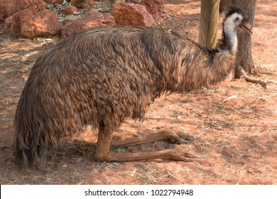 Emu resting on red dirt in the Northern Territory of Australia