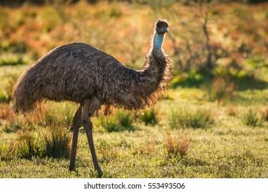 Emu walking through grassland at sunset
