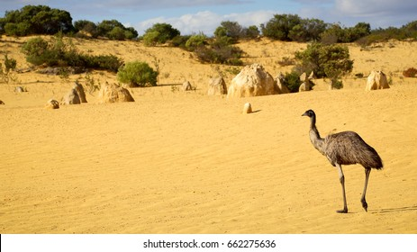 Emu walking through The Pinnacles Desert - Numbung National Park, Western Australia