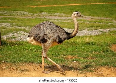 An emu/ostrich