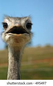 A Emu/Ostrich staring at you.