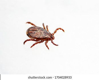 Encephalitis Infected Tick Insect Crawling on White Background. Lyme Borreliosis Disease or Encephalitis Virus Infectious Dermacentor Tick Arachnid Parasite.
